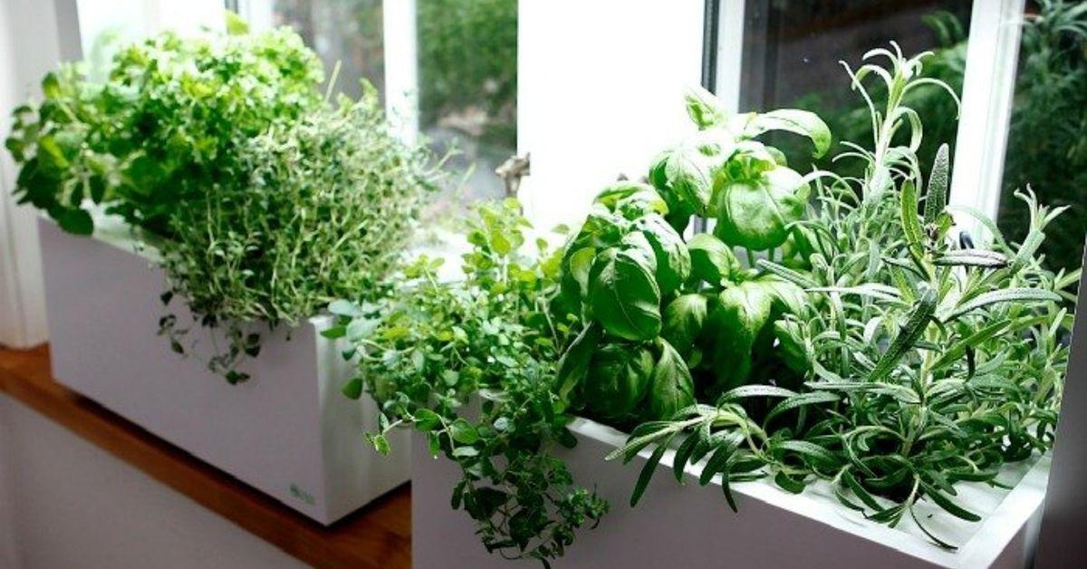 Кои са най-подходящите билки за отглеждане на закрито?