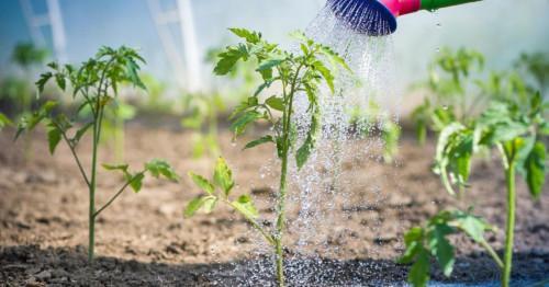Поливане на домати на открито: основни правила