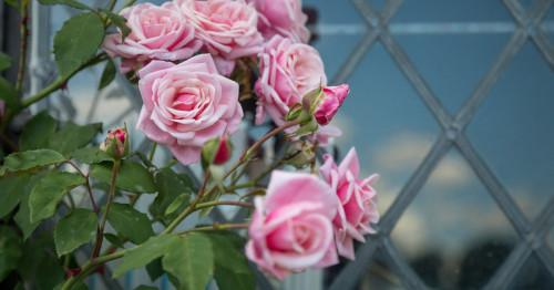 Романтични рози в английски стил за вашата модерна градина