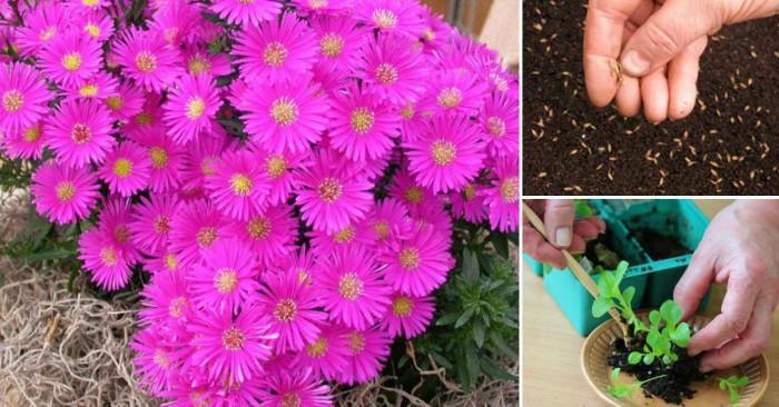 Стъпките при засаждането на цветя от семена