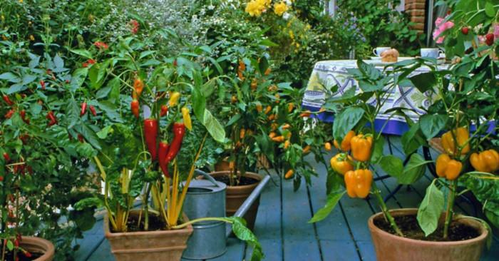 Балконска градина с чушки