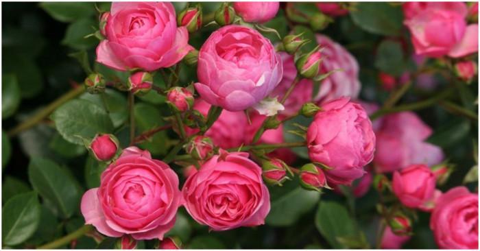 Как да се погрижите за розите през есента?