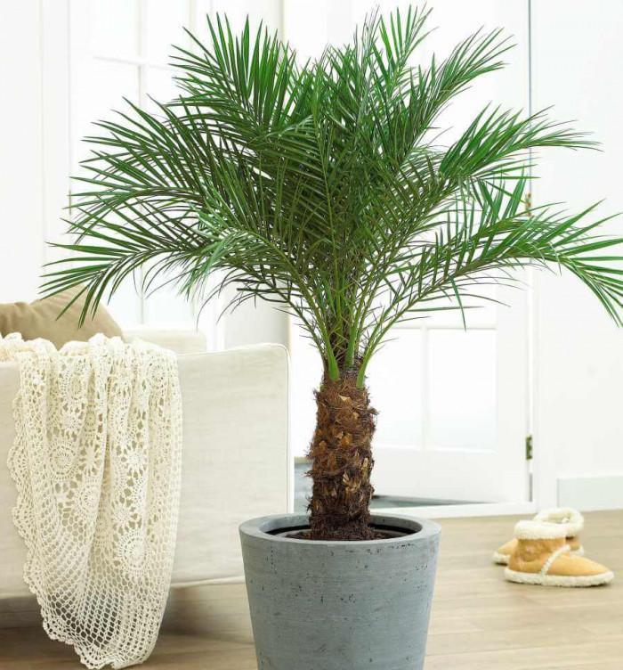 Кое място у дома е подходящо за палмите?