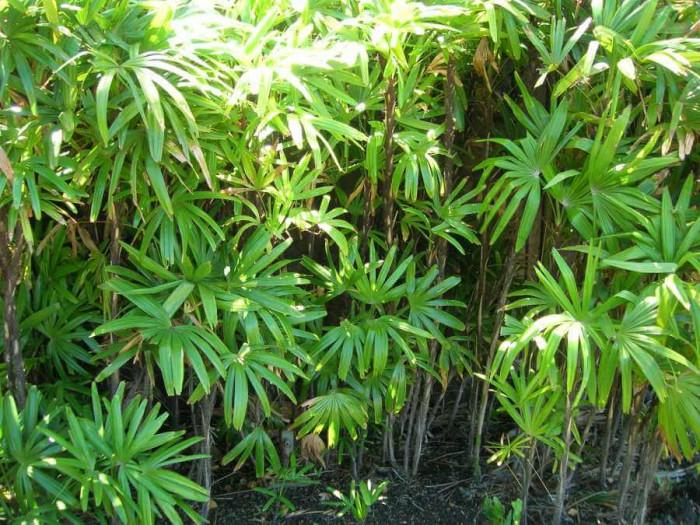 Колко често и как се поливат палмите?