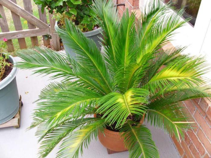 Борба с вредители по палмите