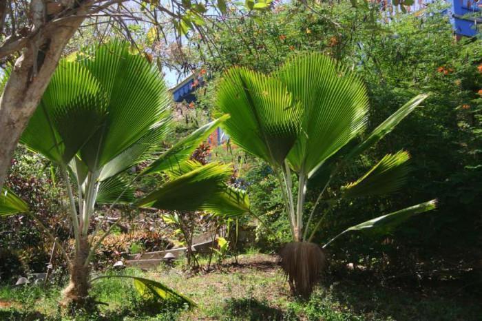 Как да осигурим най-добрата грижа за своите палми