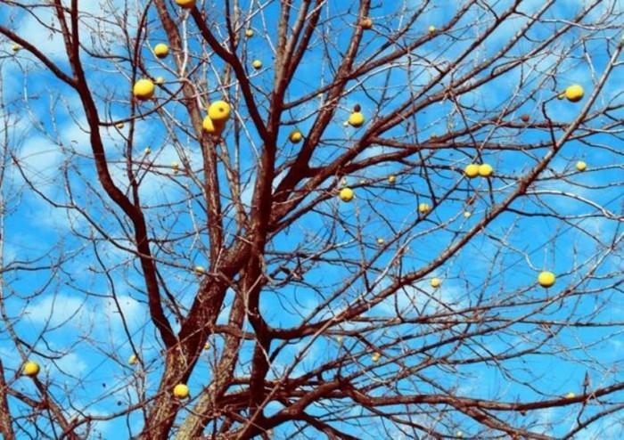 Добрите градинари знаят: варосването на дръвчетата е задължително
