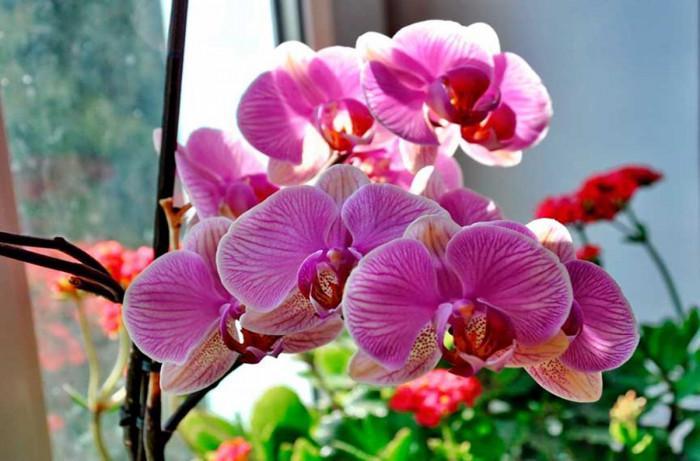 Колко често се полива орхидеята?