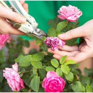 1. Премахнете увехналите цветове