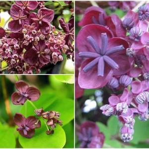Подарете на градината си лилаво бижу!
