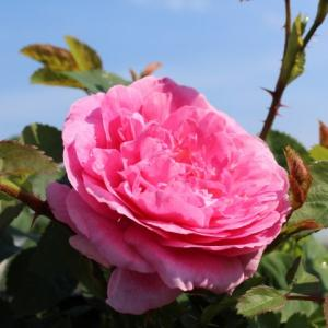 Старите английски рози – класиката си е класика